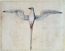 Tropic Bird by John White