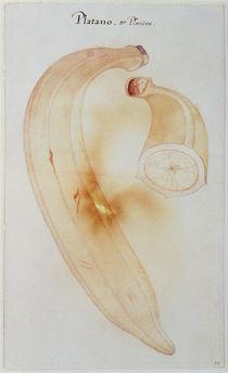 Horn Plantain von John White