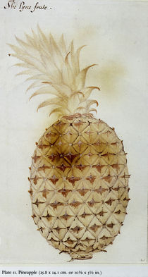 Pineapple by John White