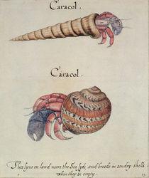 Hermit Crab von John White
