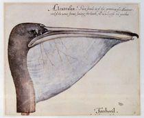 Head of a Brown Pelican von John White