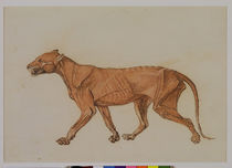 Tiger, Lateral View, Skin Removed by George Stubbs