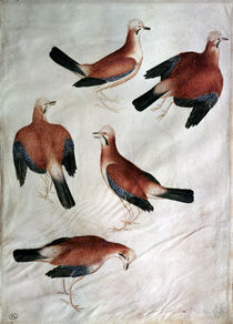 Five Jays, from the Vallardi Album by Antonio Pisanello