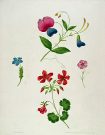 An illustration from 'A New Treatise on Flower Painting by George Brookshaw