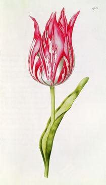 Tulip, from 'La Guirlande de Julie' von Nicolas Robert