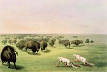 Hunting Buffalo Camouflaged with Wolf Skins von George Catlin