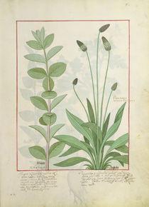 Ms Fr. Fv VI #1 fol.113 Mint and Plantain by Robinet Testard