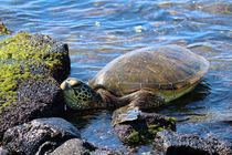 Exhausted Hawaiian Sea Turtle  by Amber D Hathaway Photography