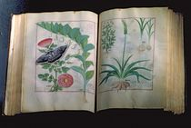 Ms Fr. Fv VI #1 Two pages depicting Rose and Garlic by Robinet Testard