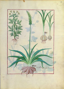 Ms Fr. Fv VI #1 fol.119r Garlic and other plants von Robinet Testard