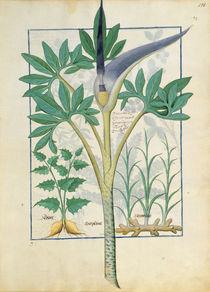 Ms Fr. Fv VI #1 fol.158r Orchid by Robinet Testard