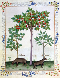 Ms Fr. Fv VI #1 fol.162r Hazelnut Bush and Cherry tree by Robinet Testard