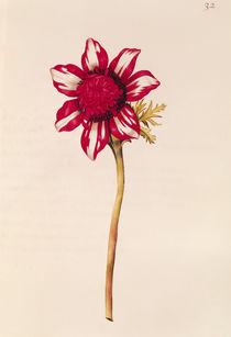 Anemone, from 'La Guirlande de Julie' von Nicolas Robert