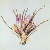 Saffron or Crocus, from 'La Guirlande de Julie' von Nicolas Robert