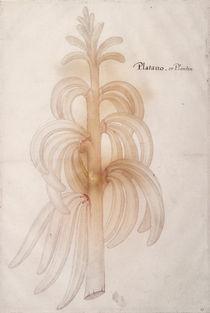 Plantain, c.1590 by John White