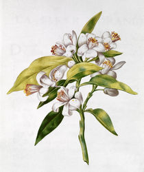 fol.71 Orange tree flower, from 'La Guirlande de Julie', c.1642 von Nicolas Robert