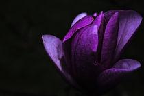 Magnolia / 1 by Heidi Bollich