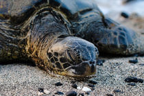 Sleeping Hawaiian Sea Turtle von Amber D Hathaway Photography