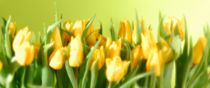 Yellow tulips in green