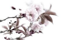 Sakura_crw_6941