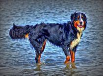 Berner Sennenhund in der Nordsee 2 von kattobello