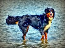 Berner Sennenhund in der Nordsee 3 von kattobello
