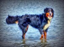 Dreamy Berner Sennenhund von kattobello