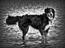 Berner Sennenhund in schwarz und weiß 2 von kattobello