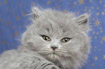 Britisch Langhaar Kitten / 9 by Heidi Bollich