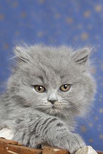 Britisch Langhaar Kitten / 10 by Heidi Bollich