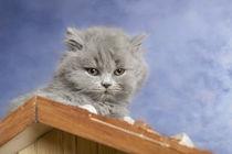 Britisch Langhaar Kitten / 12 by Heidi Bollich