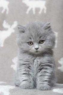 Britisch Langhaar Kitten / 16 by Heidi Bollich