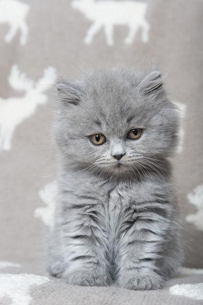 Dsc-5380-dot-blh-kitten12-01-17
