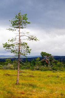 Pine tree in northern landscape von Thomas Matzl