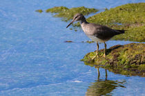 Wandering Tattler by Amber D Hathaway Photography