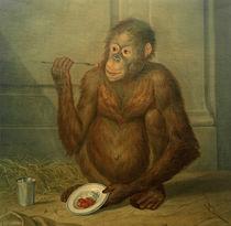 Tethart Ph. Ch. Haag, Orang-Utan, Erdbeeren fressend von AKG  Images