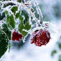 frozen_flowers_02 von Sonja Dürnberger