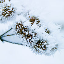 frozen_flowers_03 von Sonja Dürnberger