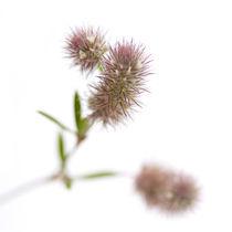 trifolium arvense von Sonja Dürnberger