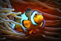 Anemonenfisch im Korallenriff 3 by kattobello