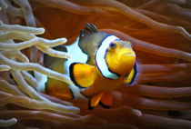Anemonenfisch im Korallenriff 4 by kattobello
