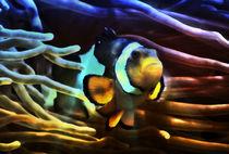 Fantastischer Anemonenfisch im Lichtstrahl 3 von kattobello