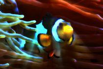 Fantastischer Anemonenfisch im Lichtstrahl 4 by kattobello