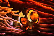Fantastischer Anemonenfisch im roten Lichtstrahl 3 by kattobello
