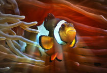 Fantastischer Anemonenfisch im roten Lichtstrahl 2 by kattobello