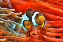 Fantastischer Anemonenfisch im roten Lichtstrahl 1 by kattobello