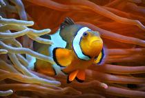 Anemonenfisch im Korallenriff 2 by kattobello