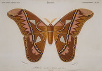 Butterflies / Attacus aurota / Engraving by AKG  Images