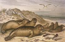 Seehund / aus Brehms Tierleben 1890 von AKG  Images