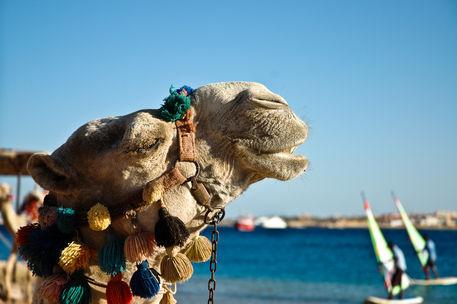Egy kamel grinst